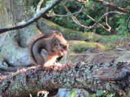 Eichhörnchen auf Campingplatz