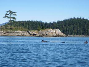 Delfine gehen zwischen den Inseln vor Vancouver Island zur Jagd