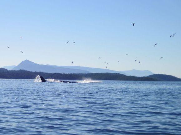 Buckelwal vor Vancouver Island wird von Möwen begleitet