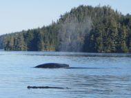 Buckelwal vor Vancouver Island taucht zum Atmen auf