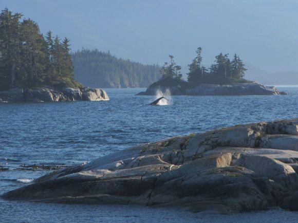 Buckelwal vor Vancouver Island schlägt mit Schwanz