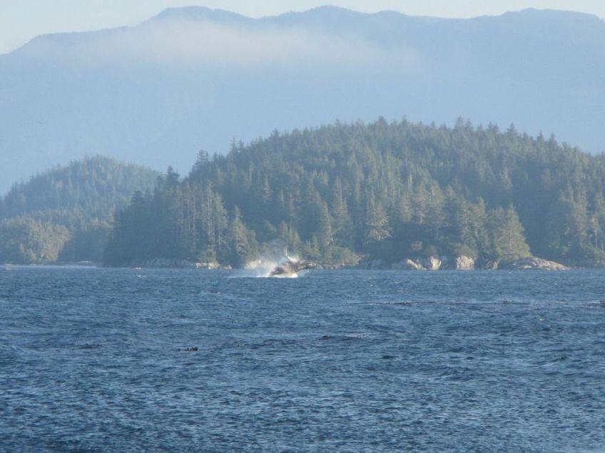 Buckelwal vor Vancouver Island springt aus dem Wasser