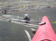 Seehund stattet Seekajak vor Vancouver Island esuch ab