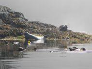 Seelöwen vor Vancouver Island vom Seekajak aus fotografiert